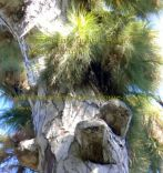 Canary pine tree zoomed-in