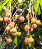 Litchies by Calle Castillo in June 2016.