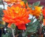 Orange rose of the Canary Center