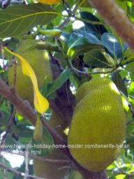 Bread tree Treculia Africana with Jack fruit at Tenerife Garden of acclimatization