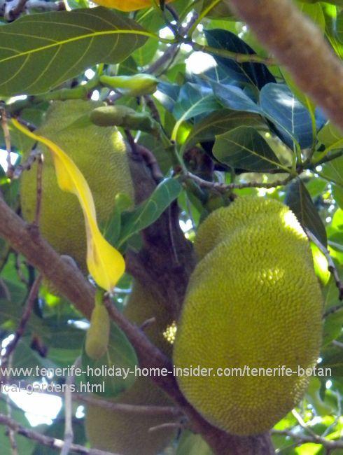 Bread tree Treculia Africana with Jack fruit at Tenerife Garden of acclimatization