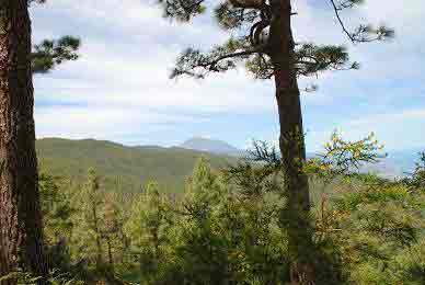 view-mount-teide-tenerife-from-pine-tree-forests