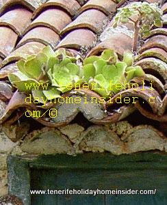 Aeonoium possible Greenovia diplocycla roof flora