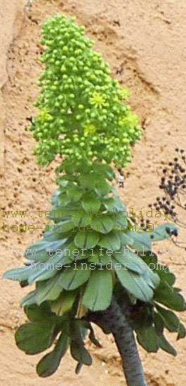 Aeonium flower grows on ancient Tenerife roof