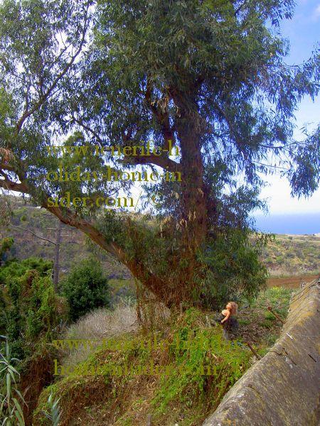 alien eucalyptus at Ruiz