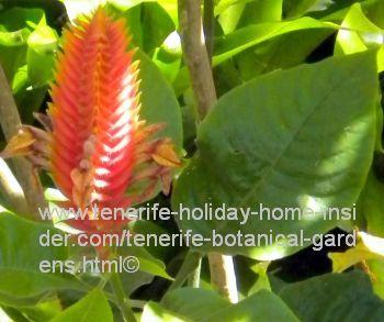 Aphelandra Flava Amazonian plant