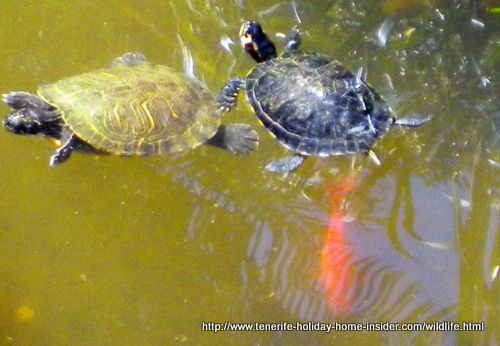 Two aquatic turtles yellow and black living semi wild outside at a Tenerife farm
