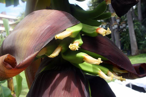 Banana flower producing fruit