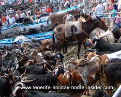 Ocean shore fun with Tenerife goats and horses
