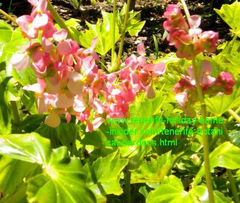 Begonia obliqua Antilean