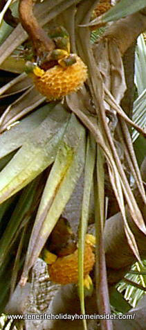 Bird seeds of the Pandan palm which are yellow and ripe