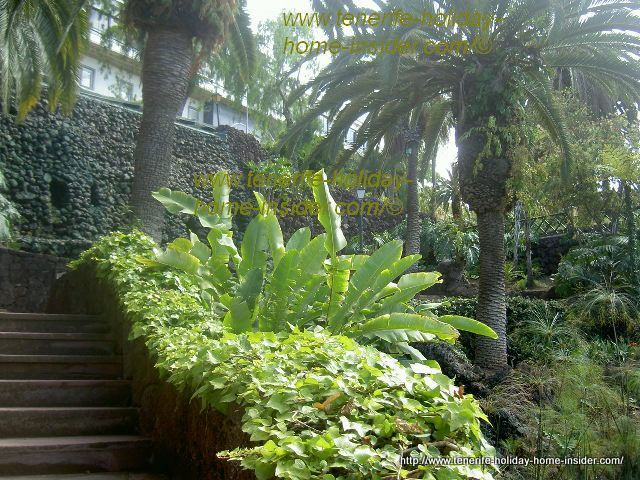 Birdnest ferns by stairs below the former  Casino Taoro in Atalaya gardens