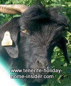 Impressive Head profile of black goat  Canary Island goat