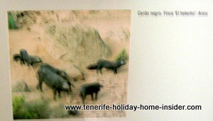 Black pigs of  Tenerife natives