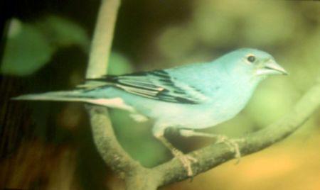 Blue chaffinch endemic Tenerife bird