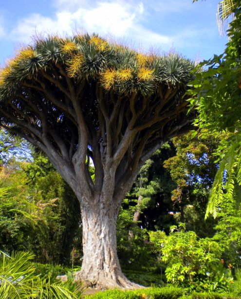 Dracaena Draco flowering at the Botanical Garden of La Orotava.