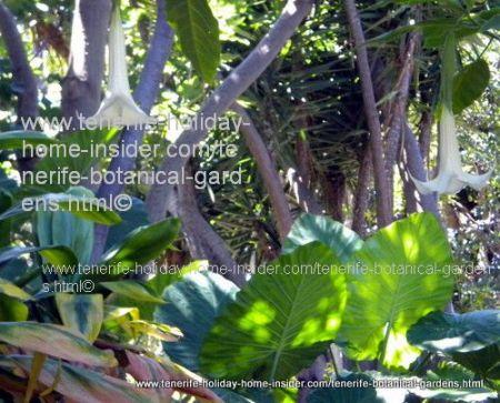 Brugmansias Trumpet flowers