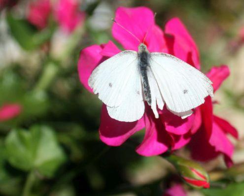 Butterfly and Geranium Avda Canarias November 2017