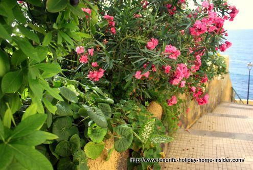 Calle Tegueste Punta Brava where Oleander still smells strong.