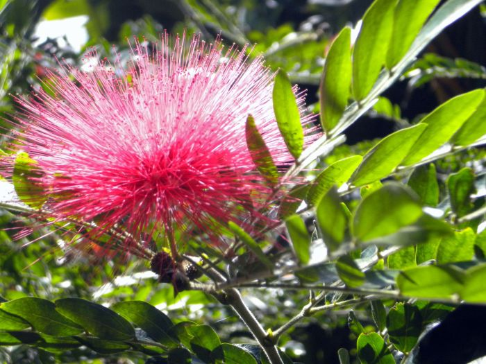 Callandra bush flowering dark pink.