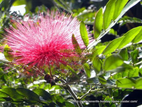 Calliandra Hematosephala tree from Bolivia growing 5m high