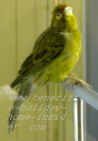 Canary bird of Canary Islands Spain