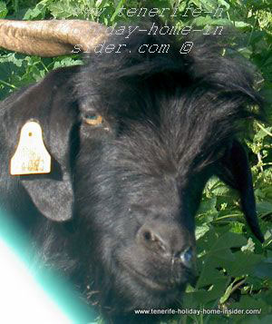 Canary Island goat in Tenerife with chip on its ear