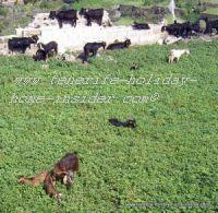 Canary Island goats