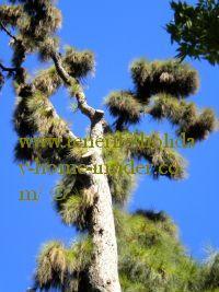 Canary Pine of Tenerife