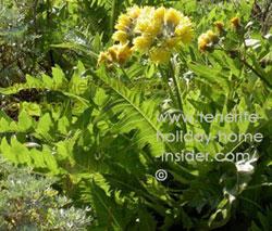 Cardo de Burro Mazca thistle flowering herb