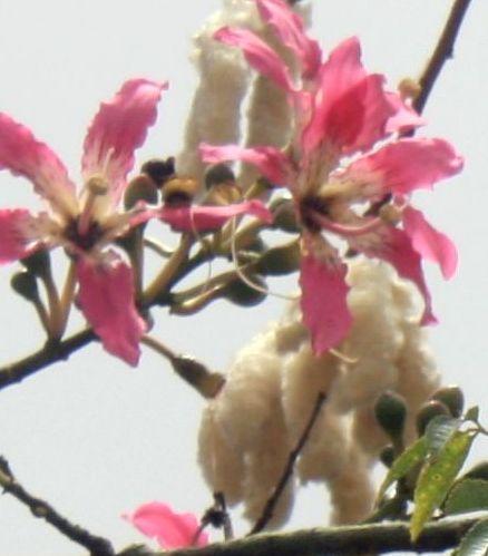 Ceiba Silktree seeds of Palo Borracho