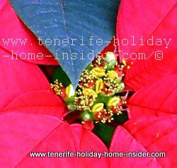 Christmas flowers golden in center of Christmas Plant Euphorbia