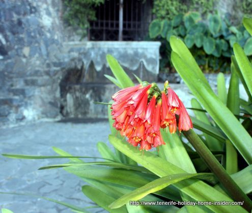The Clivia plant a leading feature of the park of the washer women of El Sauzal.