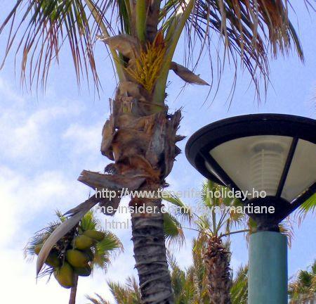 Coconut palm tree on Martianez beach