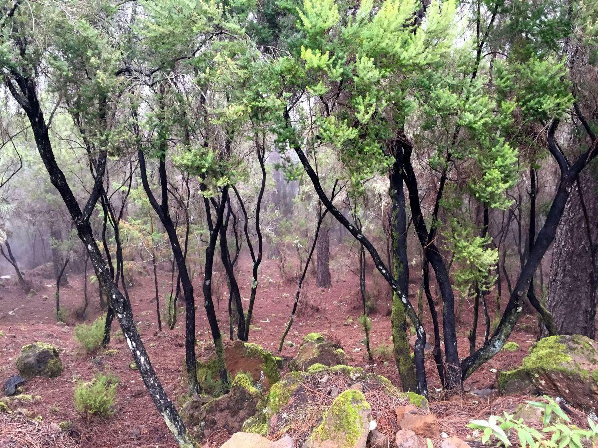 Corona forestal forest la Orotava.