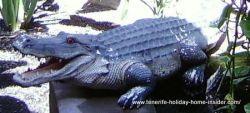 Crocodile sculpture at the Limonero Shop of Garachico
