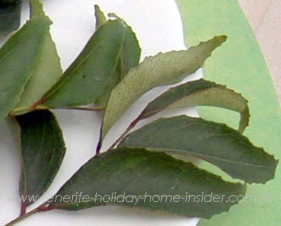 curry leaves sold in Tenerife