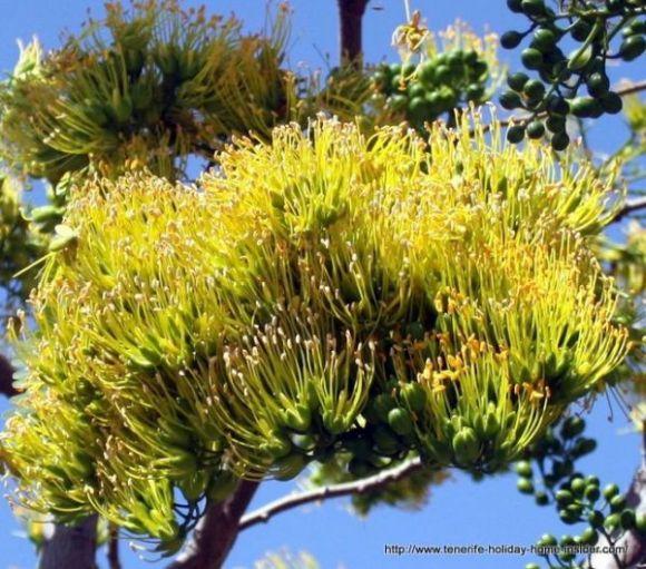 Delonix floribunda with clusters of golden blooms.