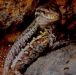 Dotted lizard