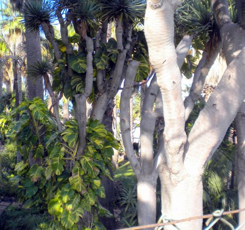 Draco mini forest in Hotel Maritim Los Realejos park.