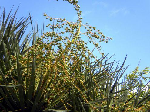 Dragon tree immature green fruit berries in Puerto de la Cruz.