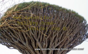 Tenerife Drago with unusual top with phalanx of branches