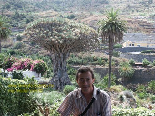 Dragon tree of Icod de los Vinos Canary Islands Spain.