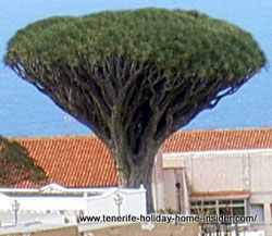 Drago for alternative medicine a Realejos tree.