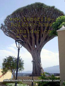 Draco Dracaena Drago tree of Los Realejos with street lamps to judge plant size.
