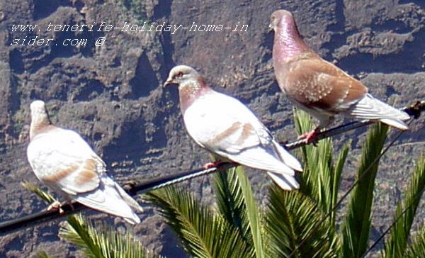 Endangered birds 3 doves sitting on Masca power line on the look-out