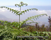 Endemic flora  South African Queens fern grows in Tenerife
