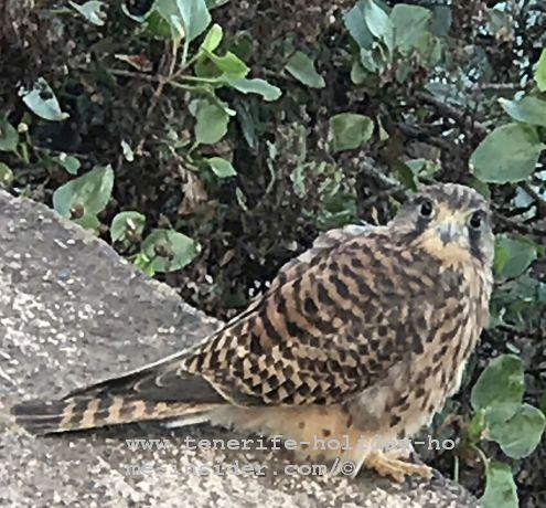 The same Falcon looking at me at the Rambla by the old ruin Casa del Agua below La Romantica 2
