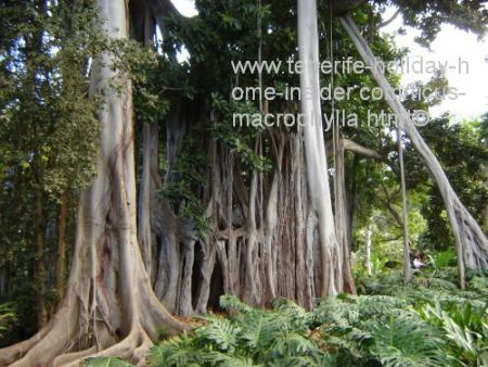 Ficus macrophylla a ssp columnaris