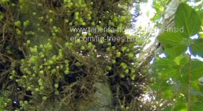 Ficus sicomorus The Sycomore fig